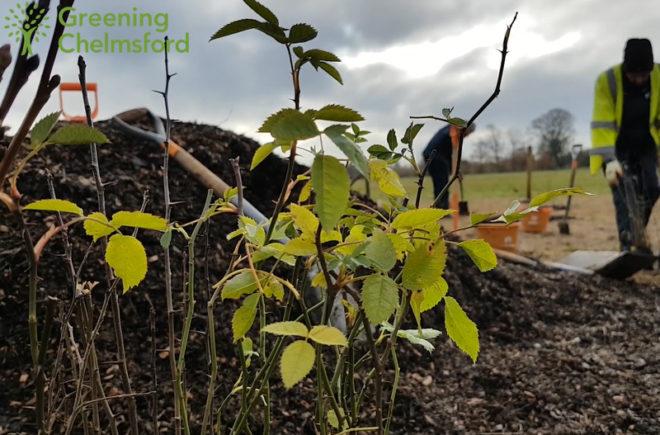 Greening Chelmsford - hylands volunteering